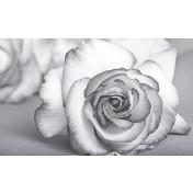 Виола роза